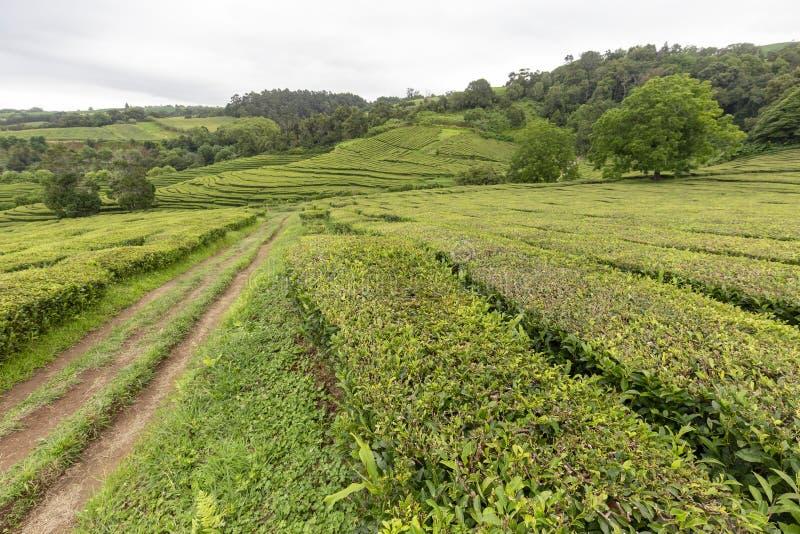 Дорога и изгороди чая стоковое изображение rf