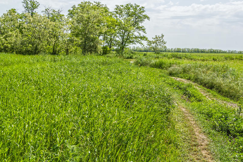 Дорога к одичалому тангажу и цветя деревьям акации стоковое изображение