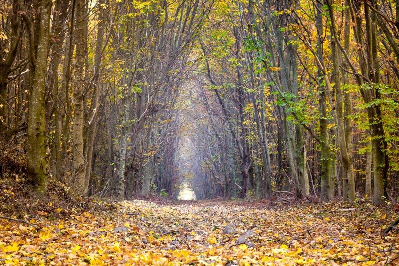 Дорога между деревьями в осени леса осени золотой в woods_ стоковые изображения