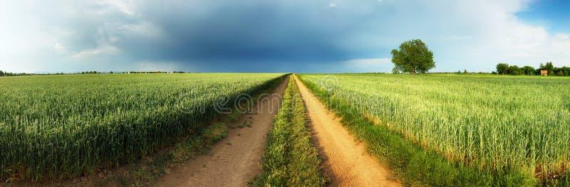 Дорога между зеленым пшеничным полем с штормом и деревом, панорамой стоковые фотографии rf