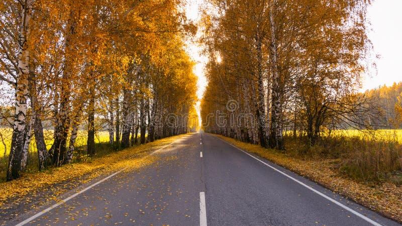 Дорога на солнечной осени среди берез стоковые фото