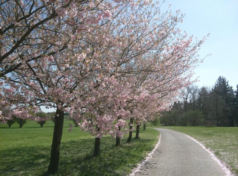 Дорога под красивым зацветая фруктовым деревом, который выросли в парке около Праги весной стоковое фото