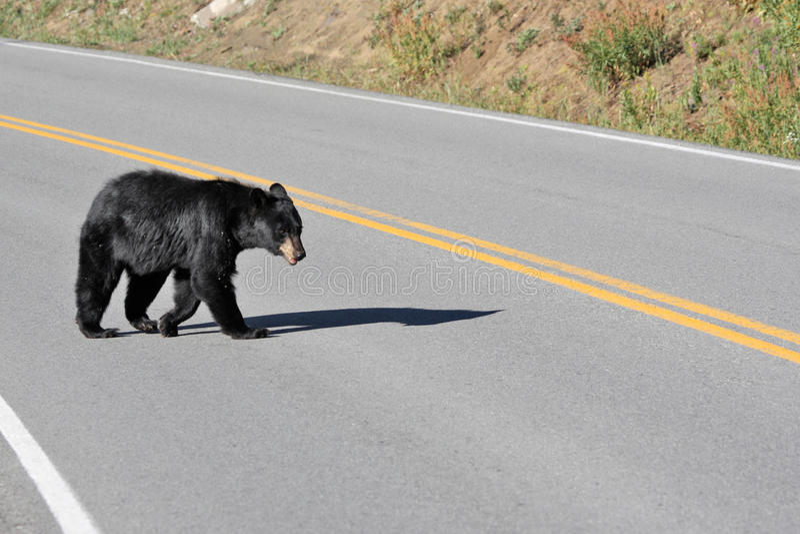 Дорога скрещивания черного медведя на национальном парке Йеллоустона стоковые фото