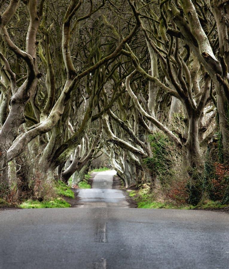 Дорога через темные изгороди уникальная дорога n Ballymoney тоннеля дерева бука, Северная Ирландия Игра положения тронов стоковые изображения