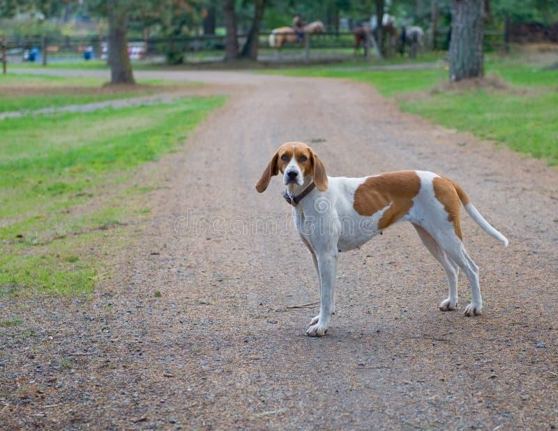 дорога foxhound стояла стоковые фотографии rf