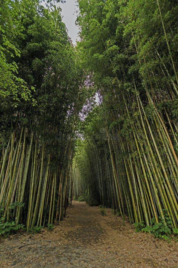 Дорожка в бамбуковом лесе стоковая фотография rf