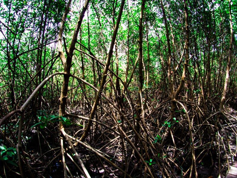 Дорожка: деревянный мост в лесе мангровы на Laem Phak Bia, Phetchaburi Таиланде стоковые изображения rf