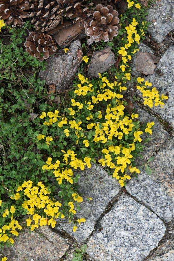 Дорожка сада при зацветая вымощенные цветки стоковое изображение