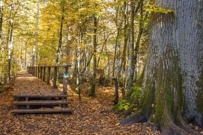 Дорожки леса осени Польши Bialowieza стоковые изображения
