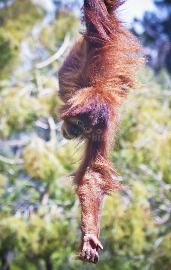Достигаемости молодые орангутана вниз к земле стоковые изображения