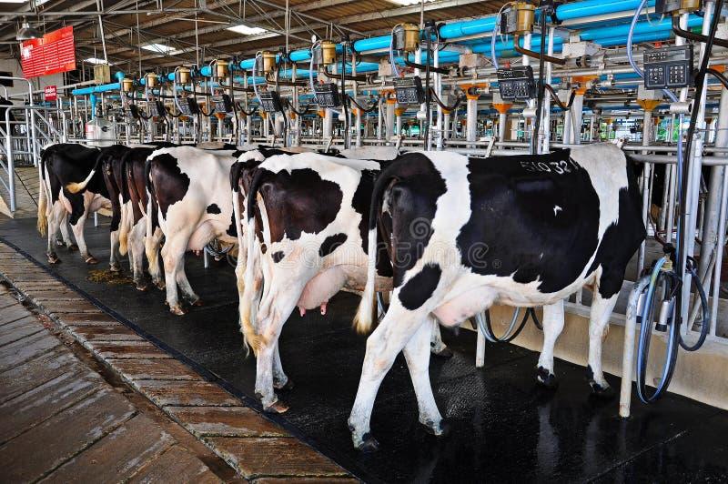 Доя коровы стоковое фото rf