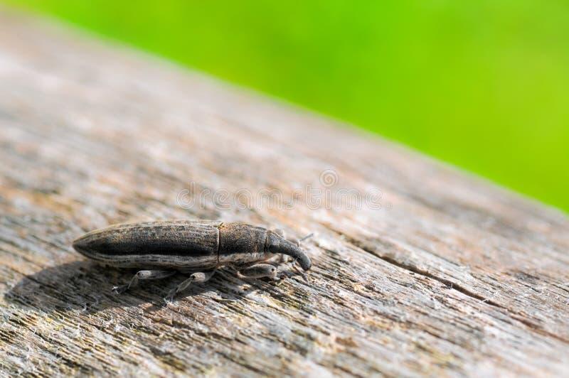 Долгоносик зерна на древесине стоковая фотография rf