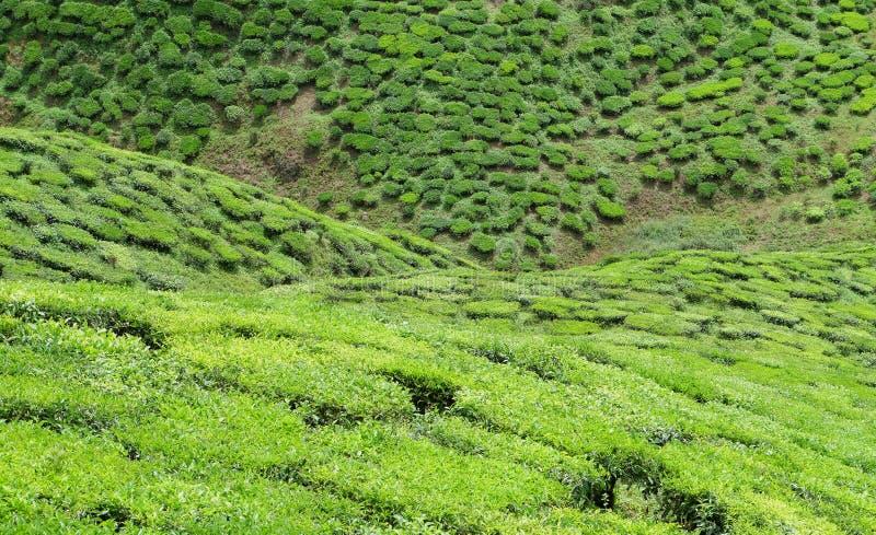 Долина чая стоковое фото