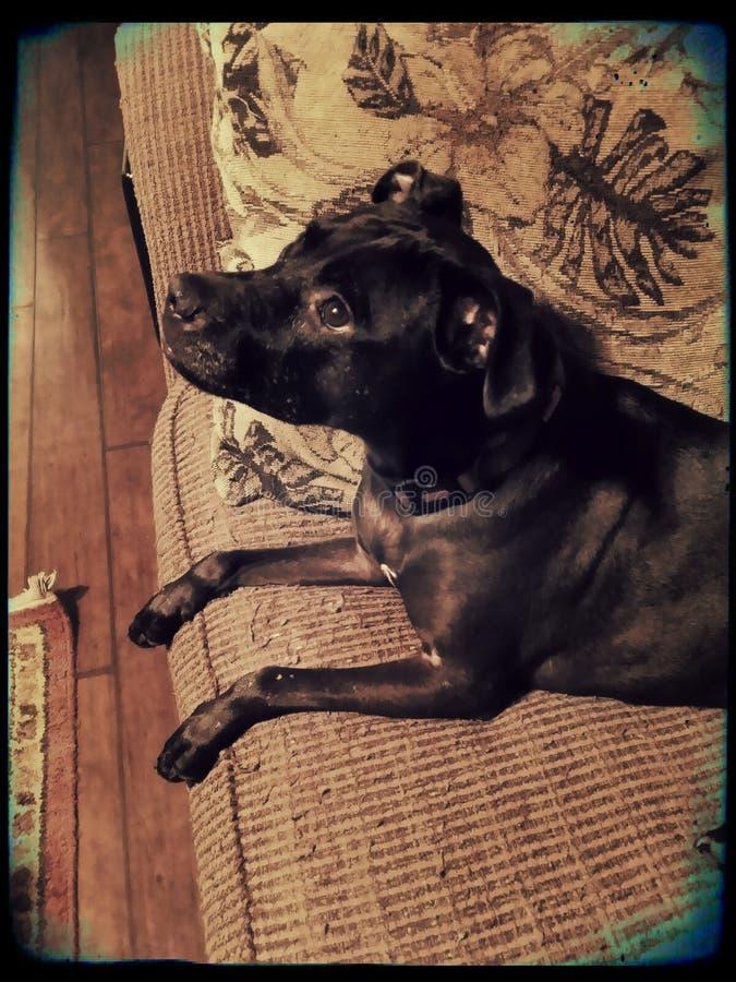 Драгоценное и sassy pitbull стоковая фотография