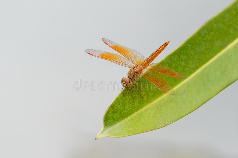 Драгоценность рва contaminata Brachythemis, вид dragonfly в семье Libellulidae Найдено в много азиатских стран стоковые изображения rf