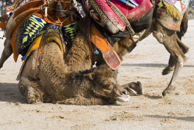 драка верблюда стоковое фото rf