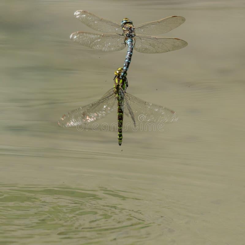 Дракон 2 летает сопрягать в midair надводном стоковые фотографии rf