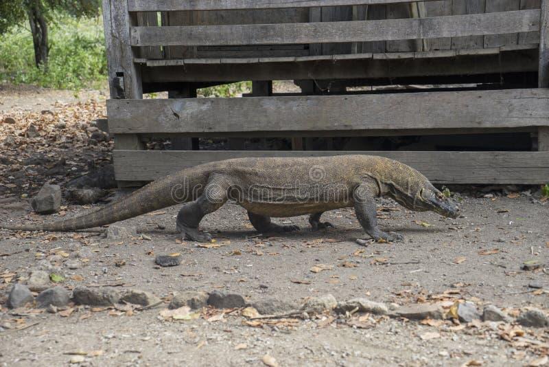 Дракон Komodo вползая на том основании стоковое изображение