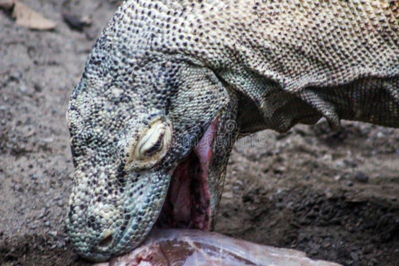Дракон Komodo есть добычу it's стоковые фотографии rf