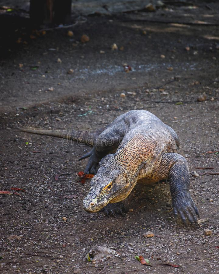 Дракон Komodo идя вперед стоковое изображение