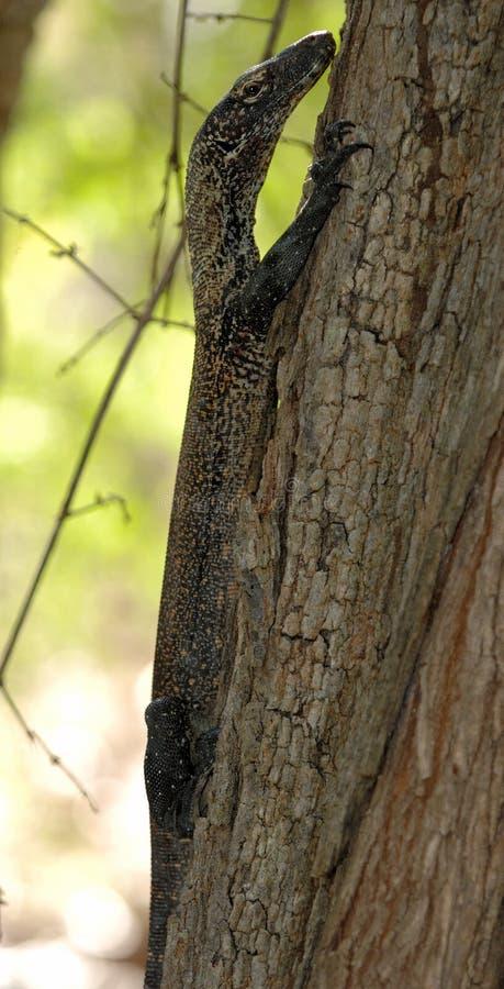 Дракон Komodo младенца стоковые фото