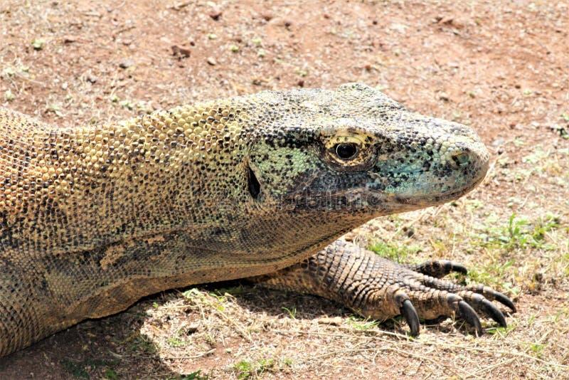 Дракон Komodo на зоопарке Феникса, центр для охраны окружающей среды, Феникс Аризоны, Аризона, Соединенные Штаты стоковая фотография rf