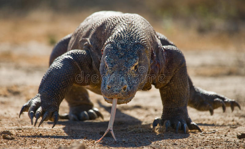 Дракон Komodo на том основании Индонезия Национальный парк Komodo стоковые фотографии rf