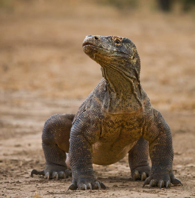 Дракон Komodo на том основании Индонезия Национальный парк Komodo стоковая фотография