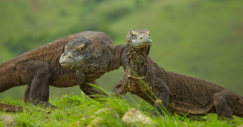 Дракон Komodo на том основании Индонезия Национальный парк Komodo стоковые изображения rf