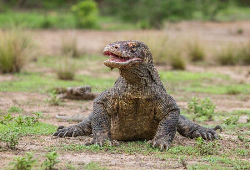Дракон Komodo на том основании Индонезия Национальный парк Komodo стоковая фотография rf