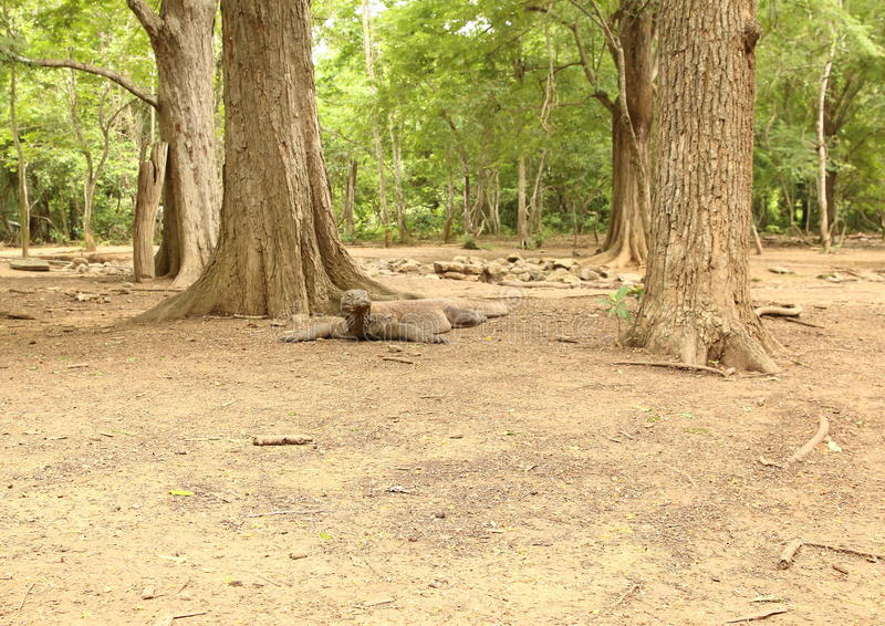 Дракон Komodo, остров Komodo стоковая фотография rf