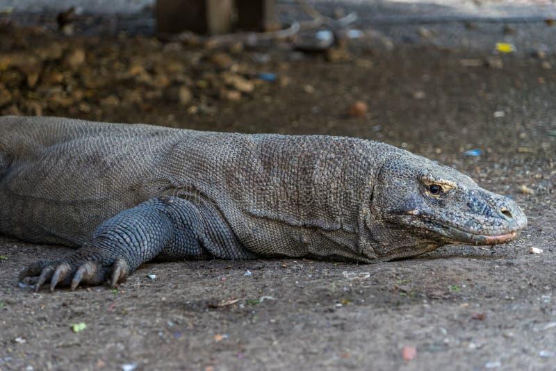 Дракон Komodo ослабляя стоковые изображения rf