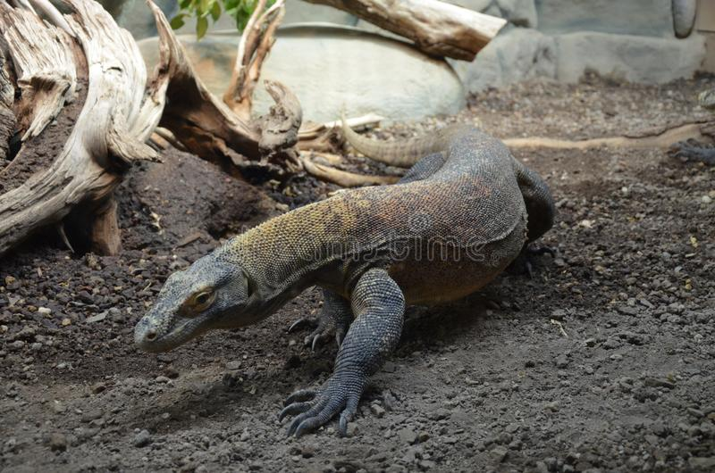 Дракон Komodo, самая большая ящерица в мире стоковые изображения
