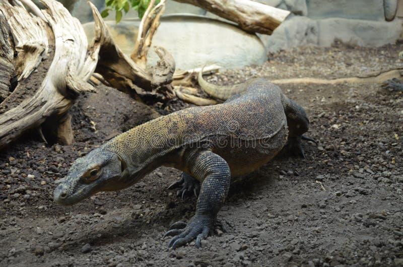 Дракон Komodo, самая большая ящерица в мире стоковая фотография rf