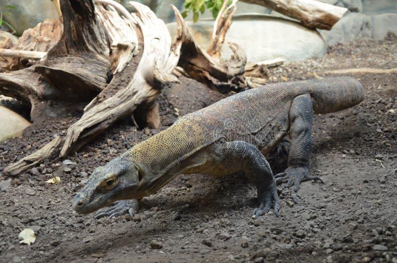 Дракон Komodo, самая большая ящерица в мире стоковые изображения rf