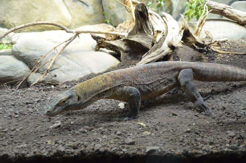 Дракон Komodo, самая большая ящерица в мире стоковое изображение