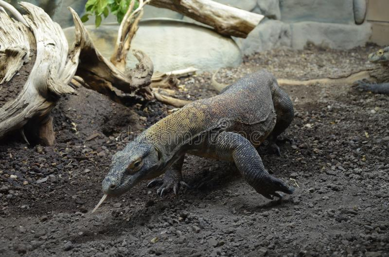 Дракон Komodo, самая большая ящерица в мире стоковая фотография