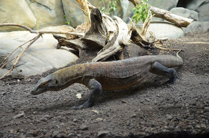 Дракон Komodo, самая большая ящерица в мире стоковое фото rf