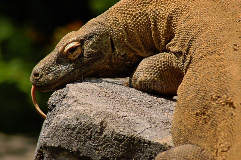 Дракон Komodo стоковые фото