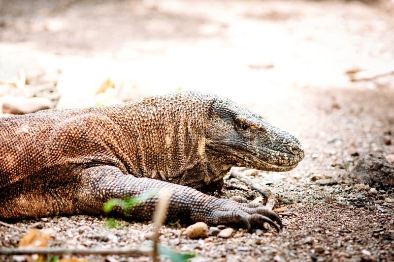 Дракон Komodo, komodoensis Varanus, национальный парк Komodo, Flores, Индонезия стоковая фотография rf