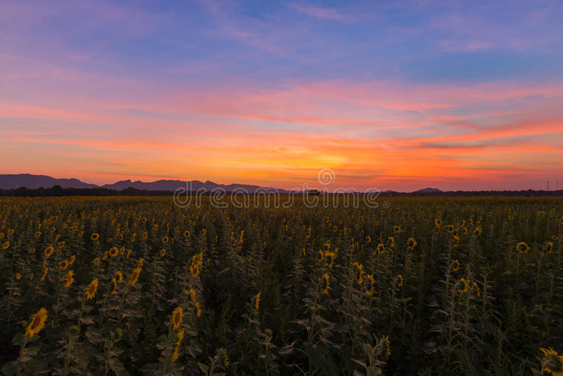 Драматическое небо захода солнца над полем солнцецвета полного цветения стоковые изображения rf