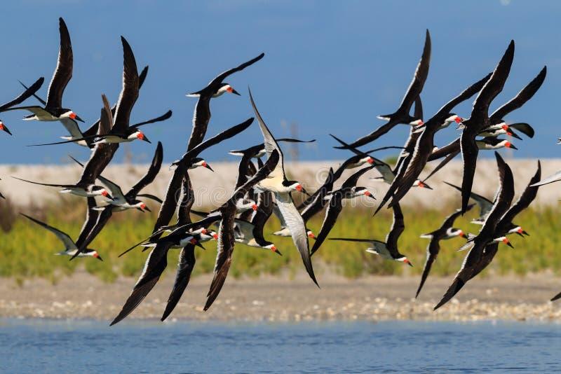 Драматическое стадо черных шумовок делая поворот на пропуске пня, Флориде стоковое изображение rf