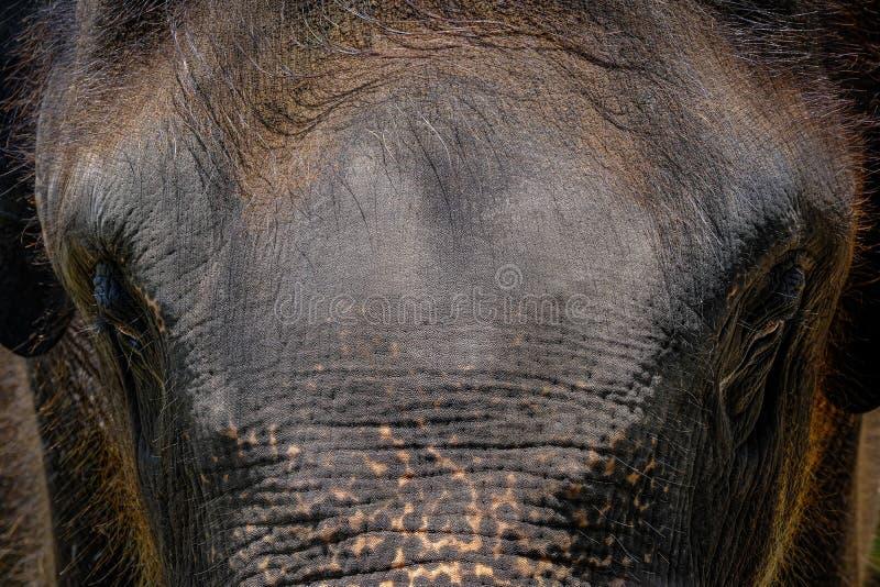 Драма портрета стороны слона Таиланда в предпосылке стоковые изображения