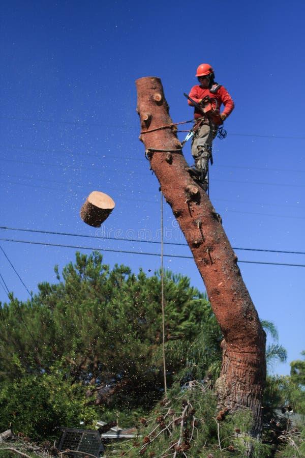 Древесина вырезывания триммера дерева с сосны стоковые изображения rf