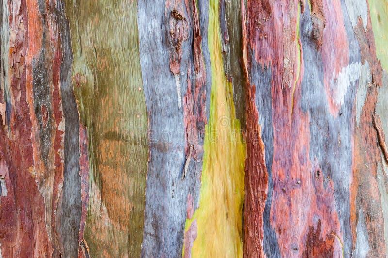 Древесина евкалипта поперечного сечения стоковое фото