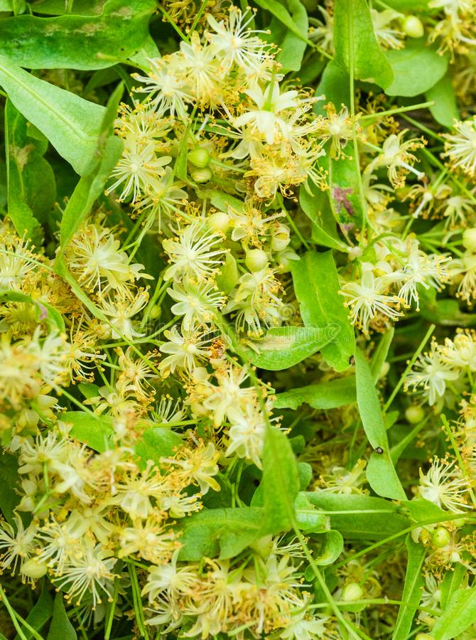 Древесина липы дерева цветков blossoming, используемая для подготовки предпосылки заживление чая естественной Цветя большая липа  стоковое фото