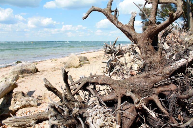 Древесина смещения на пляже стоковые фото