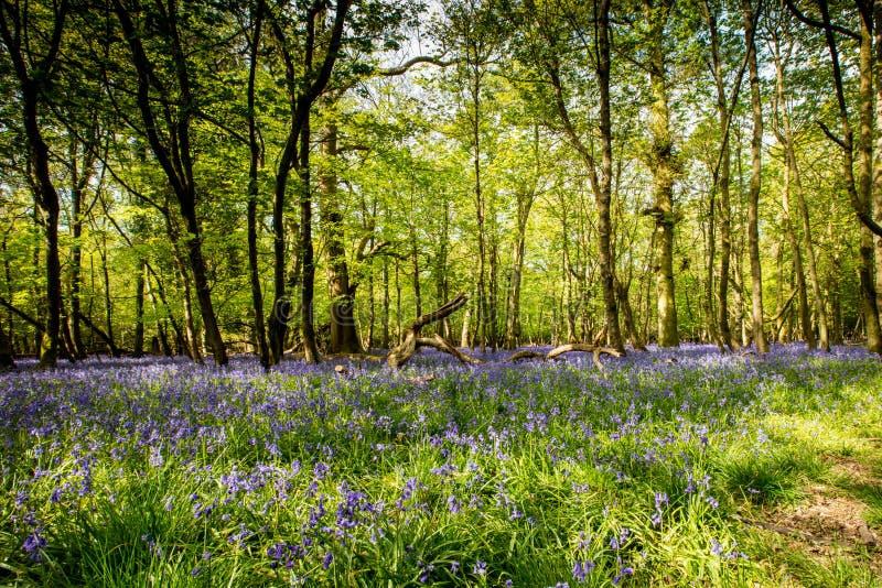 Древесина Bluebell в солнечности стоковое изображение rf