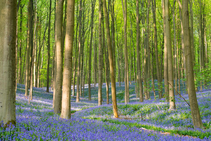 Древесина Bluebell стоковые фото