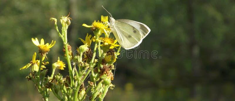 Древесина Sheepsbridge: Бабочка стоковые фото